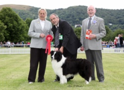 Shown winning veteran Stakes @ National Working & Pastoral Breeds Championship Show