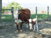 Embryo calf with surrogate Horned Hereford Cow